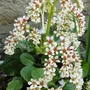 This is my spring dress folks  I am Saxifraga  (Saxifraga legulata)