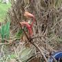Paeonia schichihoden