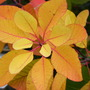 Autumn Fire (Continus 'Grace')