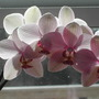 Orchid3910_002