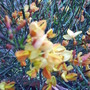 broom_flower.jpg