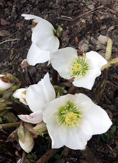 Lenten Rose (HELLEBORUS NIGER)