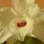 Nobile Dendrobium (Orchid)