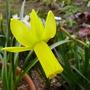 Narcissus cyclamineus (Cyclamen-flowered daffodil)