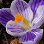 Un-named crocus