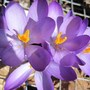 crocus (Crocus vernus (Dutch crocus))