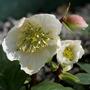 HELLEBORUS-NIGER-15.3.jpg (Helleborus orientalis (Lenten rose))