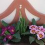Pretty Primulas