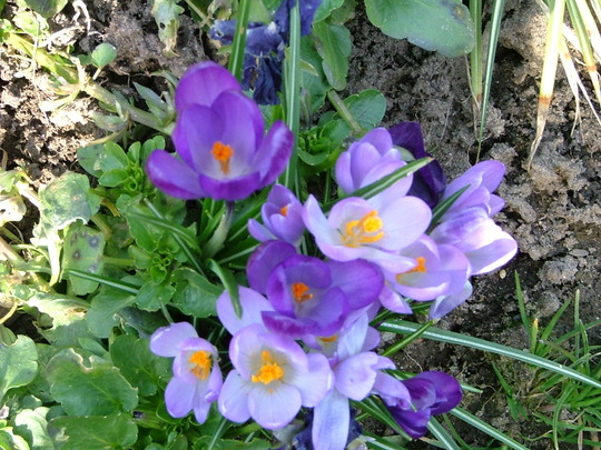 And more crocuses.