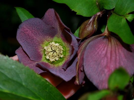 Dark Hellebore..... (Helleborus x hybridus)