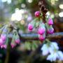 Prunus Subhirtella Autumnalis Rosea (Prunus Subhirtella Autumnalis Rosea)