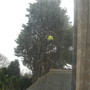 2. The Tree Surgeon at work (Cupressus Leylandii)