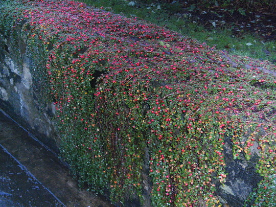 3. Cotoneaster Dammeri (Cotoneaster dammeri (Bearberry cotoneaster))