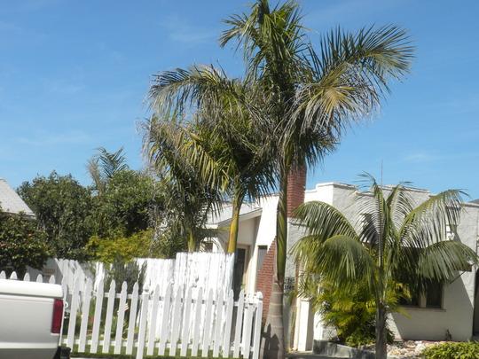 Roystonea regia - Royal Palms lining a driveway (Roystonea regia - Royal Palm)