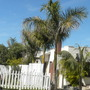 Roystonea regia - Royal Palms lining a driveway (Roystonea regia - Royal Palm)