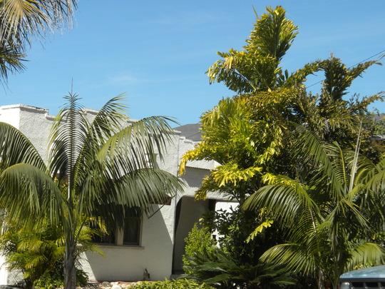 Howea fosteriana - Kentia Palms and Caryota mitis - Clustering Fishtail Palm (Howea fosteriana - Kentia Palm, Caryota mitis - Clustering Fishtail Palm)