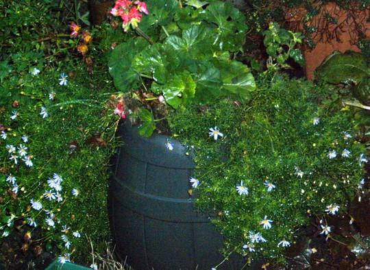 8. Swan River Daisy (Brachycome iberidifolia (Swan River Daisy))