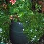 Brachycome iberidifolia (Swan River Daisy)