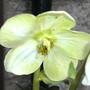 11. Helleborus Nivalis (helleborus nivalis)