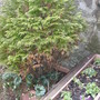 15. Thuja Occidentalis Rheingold (Thuja Occidentalis Rheingold)