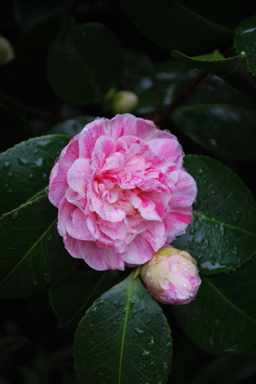 It has opened.....Hope it does not rain forever now!! (Camellia japonica (Camellia)?)