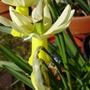 Trena (Narcissus cyclamineus (Cyclamen-flowered daffodil))