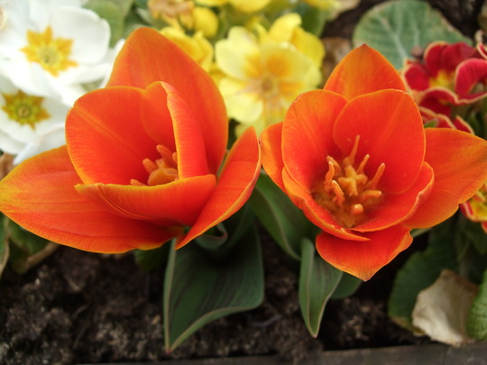 Tulipa 'Early Harvest' (Tulipa)