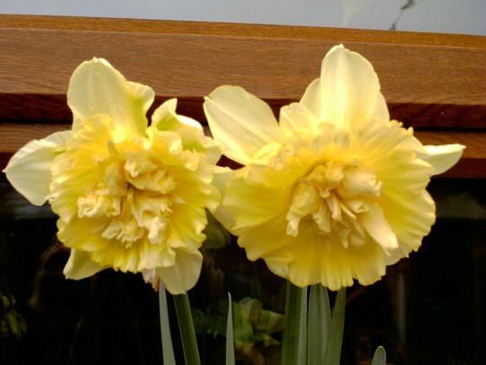 double daffodills