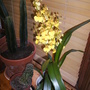 21. Orchid Oncidium (Dancing Ladies)  (Orchid Oncidium (Dancing Ladies))