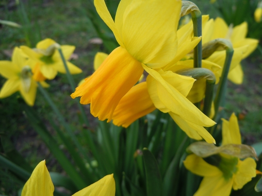 Daffodills_in_St_James.jpg