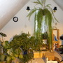 Ferns in the Loft