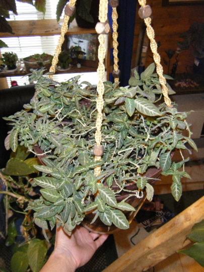 Repotted the Monkey Plant (Ruellia makoyana)