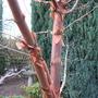 Acer Grissum