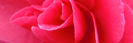 Camelia - Up close and personal