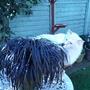 Alf inspects Black Grass