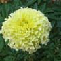 Autumn downunder: Tagetes erecta - Vanilla Marigold (Tagetes erecta)