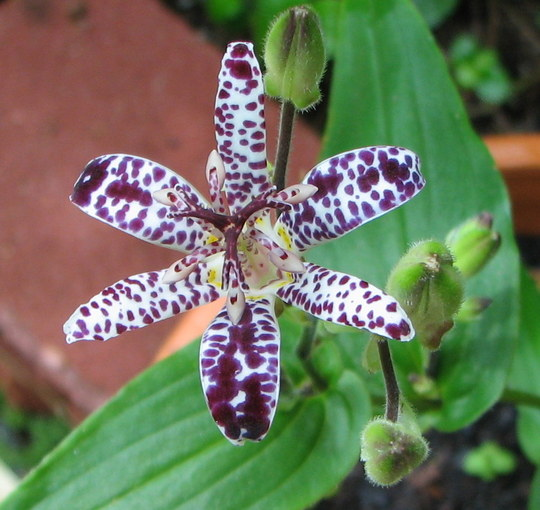 Autumn downunder: Tricyrtis x 'Empress' - Empress Toad Lily (Tricyrtis x 'Empress')