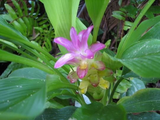 Autumn downunder: Curcuma australasica 'Anita' - miniature Cape York Lily (Curcuma australasica)