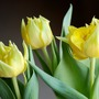 Tulips (Monte Carlo) (Tulipa acuminata (Tulip))