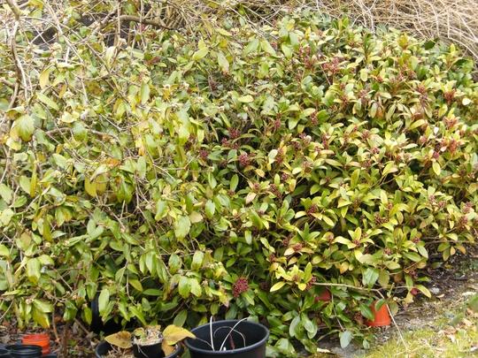 33. Skimmia Japonica Fragrans (male) (Skimmia Japonica Fragrans (male))