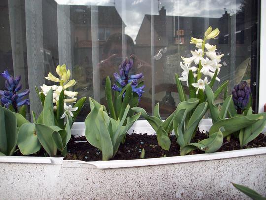 Hyacinths and Tulip bulbs coming along nicely :-)