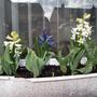 Hyacinths and Tulip bulbs coming along nicely :-)