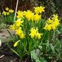 Minature Daffs in full bloom