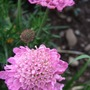 Scabious 'Pink Jewel' (Scabiosa africana (African Scabious) 'Pink Jewel')