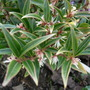 Sarcococca