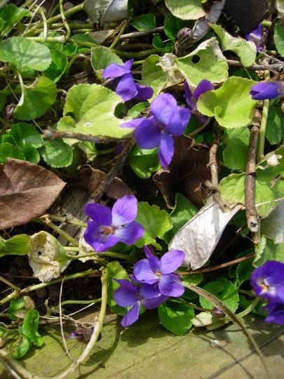 Viola Odorata (Viola Odorata)