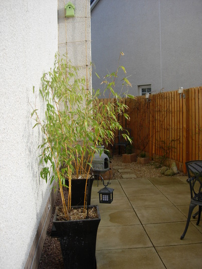 Phllostachys Aurea (Phyllostachys vivax)