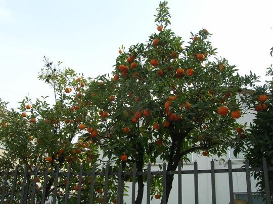 City oranges