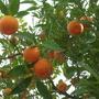 Roman oranges