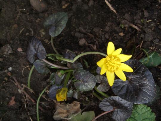 Ranunculus ficaria 'Brazen Hussy' (Ranunculus ficaria)